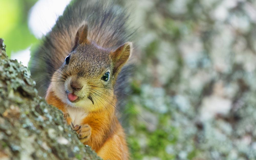 CAROLINA MOUNTAIN LIFE – Outfoxed by a Squirrel?